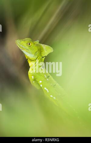 Green Basilisk (Basiliscus basiliscus) in the foliage, Cahuita National Park, Costa Rica - Stock Photo