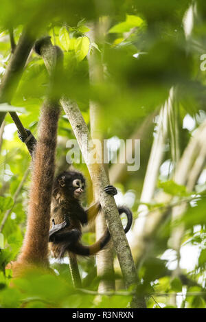 Baby Black-handed spider monkey (Ateles geoffroyi) in the branches, Osa peninsula, Costa Rica - Stock Photo