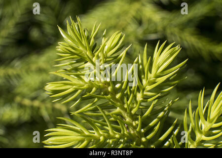 Details of a Cook pine leaf (Araucaria columnaris). Endemic species. New Caledonia. - Stock Photo