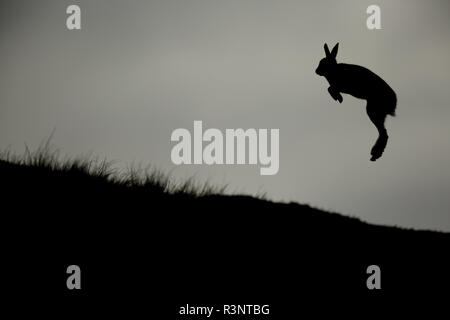 A shocked Mountain Hare (Lepus timidus) leaps into the air after having stepped on something unpleasant in the Cairngorms National Park, UK. - Stock Photo