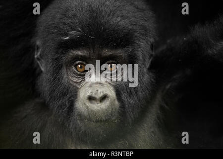 A young Mountain Gorilla (Gorilla beringei beringei) plays around his mother in the remote rainforests of Africa. - Stock Photo