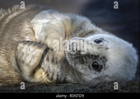 Portrait of young gray seal (Halichoerus grypus), Louth, Donna Nook, UK - Stock Photo