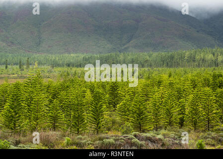 Plantation of Cook pines (Araucaria columnaris). Endemic species. Plain of the Lakes. Commune of Yate. New Caledonia. - Stock Photo
