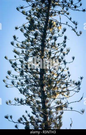 Lichen on Cook Pine (Araucaria columnaris), New Caledonia - Stock Photo