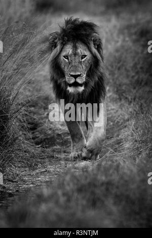 A young male Lion (Panthera leo) walks along the road in the Maasai Mara, Kenya - Stock Photo