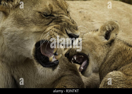 A female Lion (Panthera leo) disciplines her young cub in the Maasai Mara, Kenya. - Stock Photo