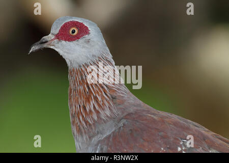 Portrait of Speckled Pigeon (Columba guinea), Lake Baringo, Kenya - Stock Photo
