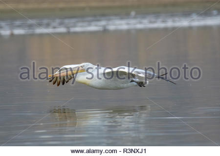 Close-up portrait of Dalmatian pelican (Pelecanus crispus). Large silvery-white bird with curly nape feathers and huge bill with orange pouch - Stock Photo