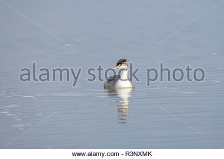 The Great Crested Grebe is a medium to large aquatic bird, and is the largest of the grebes. - Stock Photo