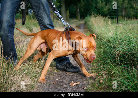 Red/ red nose American Pit Bull Terrier dog pulling on the leash - Stock Photo