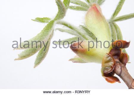 Ahorn Blüte Studioaufnahme - Stock Photo
