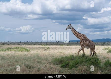 Masai giraffe (Giraffa camelopardalis tippelskirchii) in Maasai Mara region of Kenya in east Africa - Stock Photo