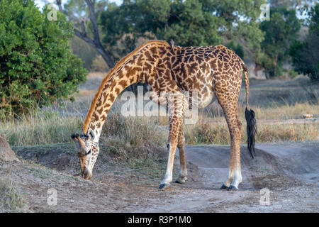 Masai giraffe (Giraffa camelopardalis tippelskirchii) in Maasai Mara region of Kenya in east Africa - Stock Photo
