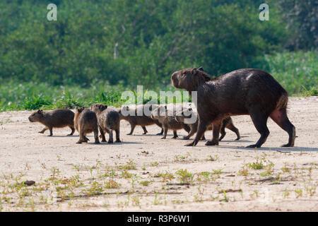 Capybara (Hydrochoerus hydrochaeris) and young, Pantanal, Brazil - Stock Photo