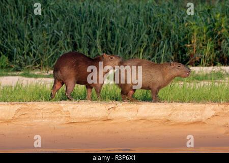 Capybara (Hydrochoerus hydrochaeris) male and femelle in heat, Pantanal, Brazil - Stock Photo