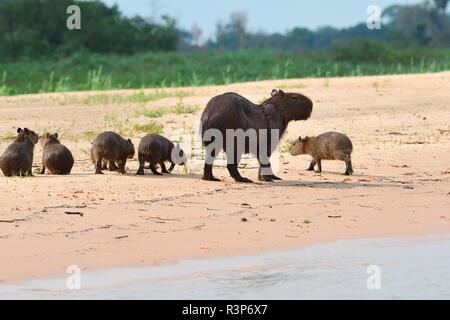 Capybara (Hydrochoerus hydrochaeris) family on the river sand, Pantanal, Brazil - Stock Photo