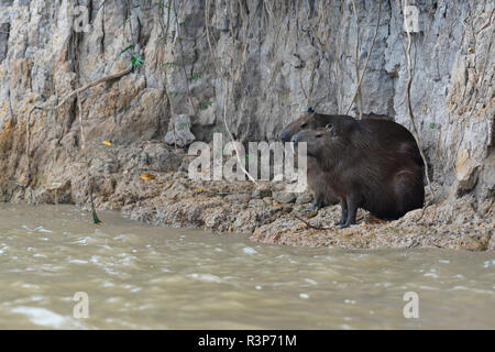 Capybara (Hydrochoerus hydrochaeris) family near a river, Pantanal, Brazil - Stock Photo
