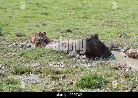 Capybara (Hydrochoerus hydrochaeris) mud bathing, Pantanal, Brazil - Stock Photo