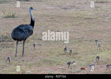 Greater Rhea (Rhea americana) male and chicks, Pantanal, Brazil - Stock Photo