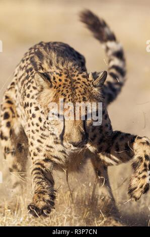 Cheetah (Acinonyx jubatus). Playing. Photographed in captivity. Harnas Wildlife Foundation, Namibia. - Stock Photo
