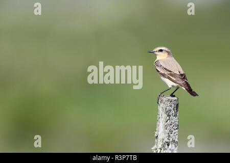 Northern wheatear (Oenanthe oenanthe) female on a stake, Europe - Stock Photo