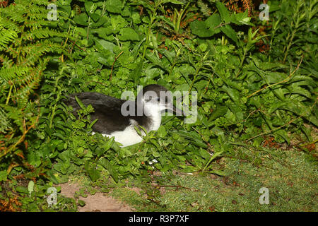 Manx shearwater (Puffinus puffinus) on its nesting island at night, Brittany, France - Stock Photo