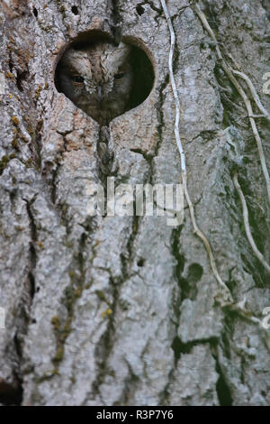 Eurasian scops-Owl (Otus scops) taking out his head from a tree hole, Europe - Stock Photo