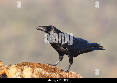 Raven (Corvus corax) on the carcass of a Red Fox (Vulpes vulpes), Europe - Stock Photo