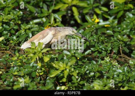 Squacco Heron (Ardeola ralloides) catching a fish, Europe - Stock Photo