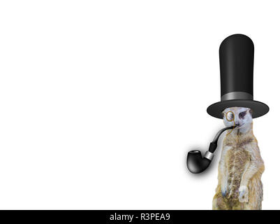 old english concept a funny elegant meerkat wearing a high hat and smoking the pipe isolated on a white background - Stock Photo