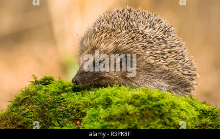 Hedgehog, Erinaceus Europaeus, wild, native, European hedgehog on green moss with blurred background. Facing right.  Horizontal. Landscape - Stock Photo