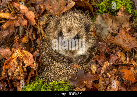 Hedgehog, Erinaceus europaeus, Wild, native hedgehog, curled into a ball and preparing for hibernation in golden Autumn leaves and green moss. - Stock Photo