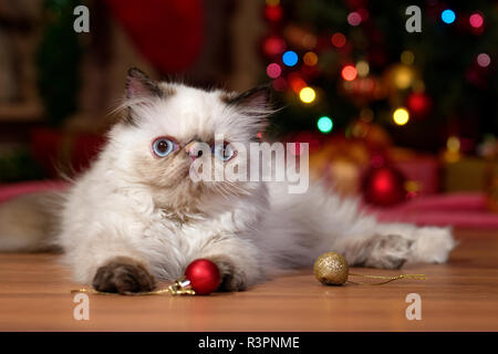 Cute persian colorpoint kitten is playing with some ball ornaments in front of a Christmas tree - Stock Photo