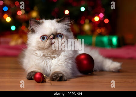 Funny persian colorpoint kitten is playing with some ball ornaments in front of a Christmas tree - Stock Photo