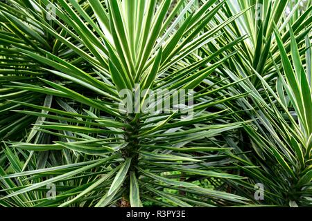 Green tropical plants with pointed needle leaves growing in Costa Rica / Central America. - Stock Photo