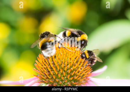 Three bumblebees on echinacea blossom - Stock Photo