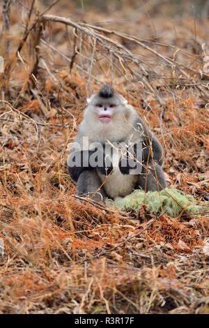 Black Snub-nosed Monkey (Rhinopithecus bieti) sitting on ground, Yunnan, China - Stock Photo