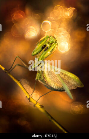 Praying mantis (Mantis religiosa) in a forest near the Po river in northern Italy - Stock Photo