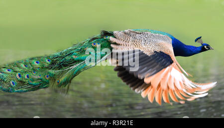 Indian Peafowl (Pavo cristatus) male in flight, Pays de Loire, France - Stock Photo