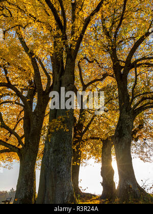 Linden tree (Tilia) with autumn colouring and solar reflex, Diessen, Upper Bavaria, Bavaria, Germany, Europe - Stock Photo