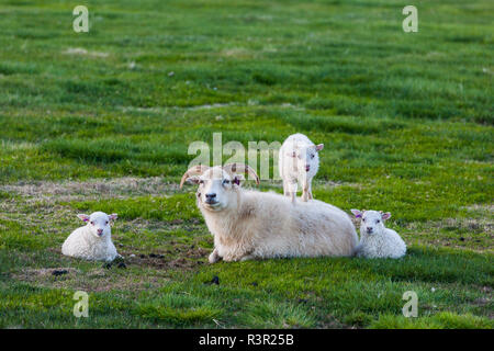 Sheep of Iceland, adult and young playing. Flatey Island, Iceland. - Stock Photo