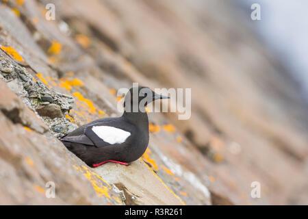 Black Guillemot (Cepphus grylle) on rock, Flatey Island, Iceland - Stock Photo