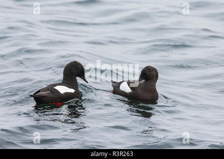 Black Guillemot (Cepphus grylle) couple on the water, Flatey Island, Iceland - Stock Photo