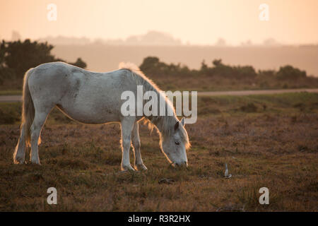 A New Forest pony in late afternoon November light in the New Forest grazing next to a road. New Forest Hampshire England UK GB - Stock Photo