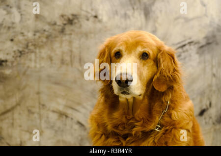 Front view close up picture of a Golden Retriever dog breed sitting in front of isolated studio on gray background - Stock Photo
