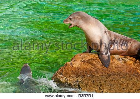 Robben Muttertier und junge Robbe - Stock Photo