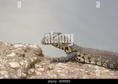 water, nile monitor lizzard, Varanus niloticus - Stock Photo