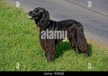 black irish setter at the roadside in front of lodge - Stock Photo