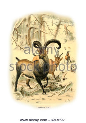 Wild sheep  - Caucasian tur - Stock Photo