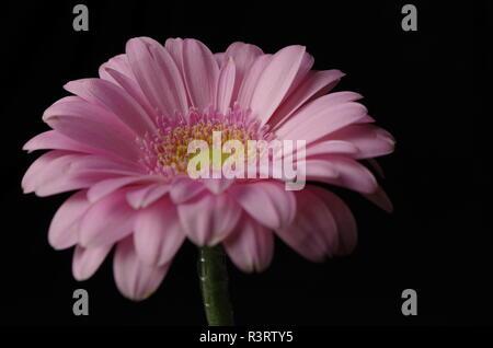 pink gerbera in closeup against black background - Stock Photo